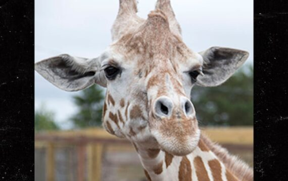 April the Giraffe dies at Animal Adventure Park at 20 years of age